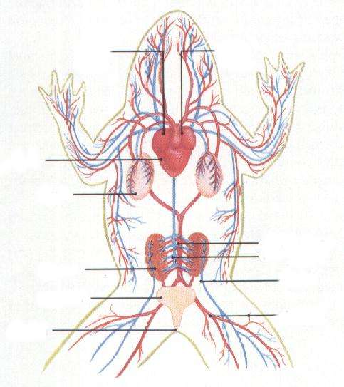 Frog circulatory system labeled - photo#4